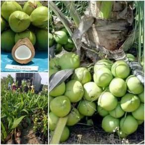 Anak benih pokok kelapa TACUNAN