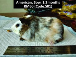 Guinea Pigs (Sow) Clearance
