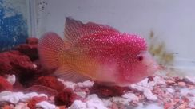 Flowerhorn / Lohan Fish