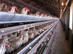 Chicken Egg Farm senawang