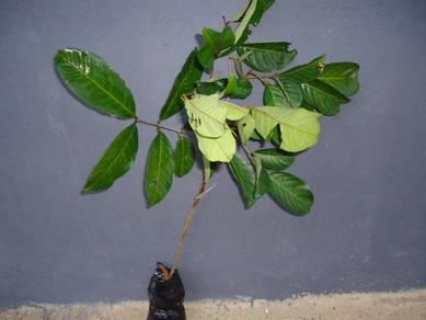 Anak Pokok Rambutan Kulit Kuning
