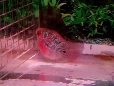Ikan louhan-bongsai