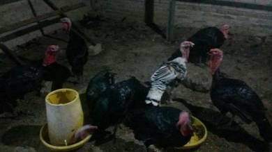 Ayam piru Turki belanda