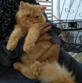 Anak kucing parsi flatface persian oren