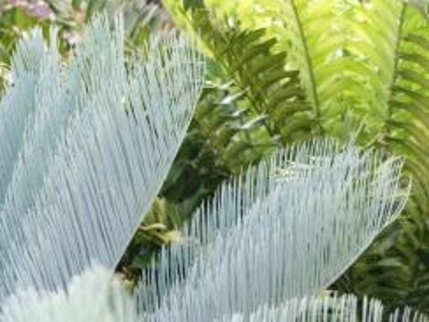Pokok Cycas Cairnsainia