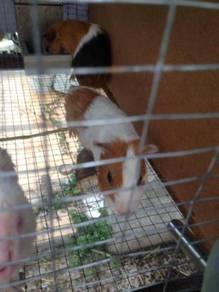 Guinea pig (american) BOAR