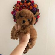 Brown Teddy Bear Toy Poodle For Booking