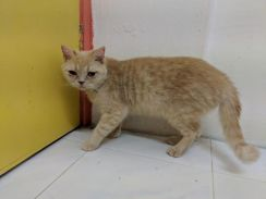 BSH cream tabby female