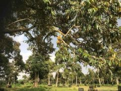 Durian #farm #Parit #Sikom (Pontian-Gunung Pulai) - 10acres +