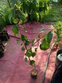 Pokok pear ecp
