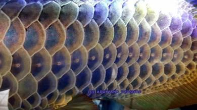 Lee arowana Malaysia golden blue base