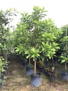 Lophanthera Lactescens (Golden Chain Tree)