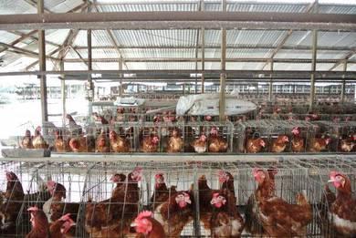 Ladang Telur Ayam