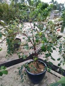 Anak Pokok Bidara Epal