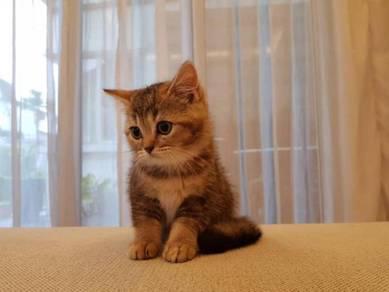 Golden Tabby British Shorthair (BSH) Kitten