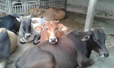 Lembu untuk di jual