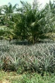Kebun Sawit untuk Dijual - Ayer Baloi