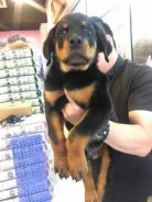 3 Months male ROTTWEILER puppies for sale