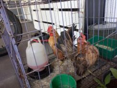 Ayam Serama Sepasang utk dijual