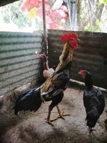 Ayam sabung batang kaki ecer