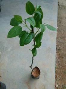 Pokok pear