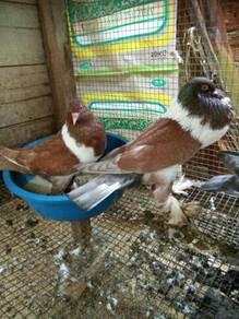 Burung merpati Hana pouters induk