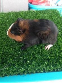 Guinea pig (american)