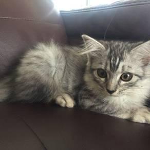 Anak Kucing Parsi ( Sepasang )