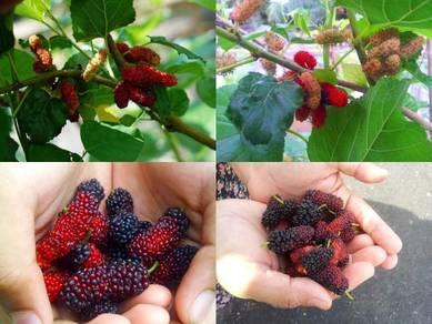 Keratan Mulberry