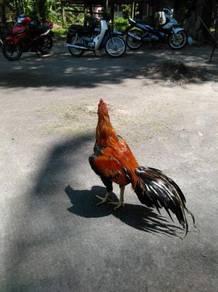 Ayam bapak