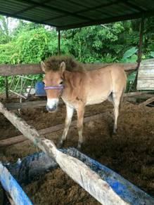 Ank kuda jantan