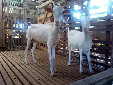 2 Ekor kambing betina