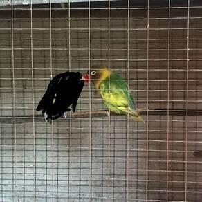 Burung love bird matang