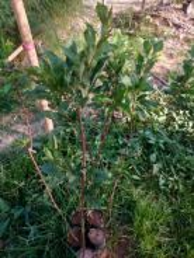 Pokok plum
