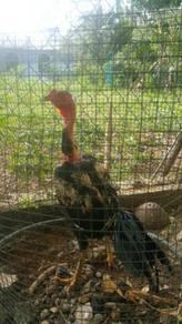Ayam Saigon Ganoi Ori Untuk Dijual