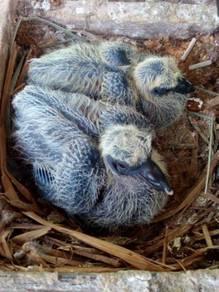 Anak burung merpati