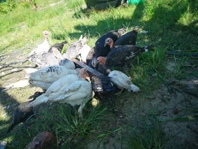 Ayam Belanda 4 bulan