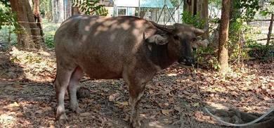 Lembu dan kerbau