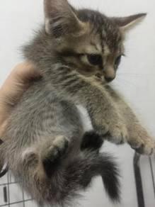 Kitten dlh