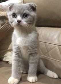 Scotish fold kitten for sale