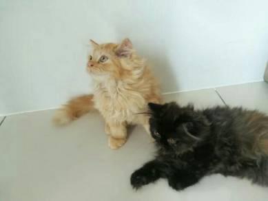 Persian Kitten 3 Months