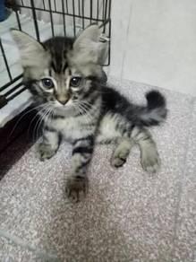Anak Kucing Kitten tabby