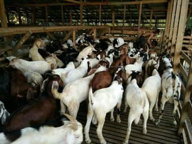 Kambing biri akikah nazar dan baka sheepy farm