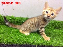 Pure Bengal Top Quality Brown Kitten Available