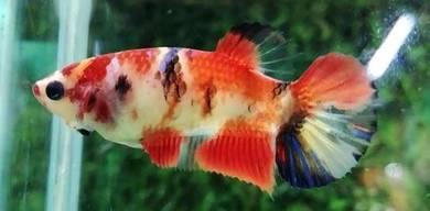 Ikan laga BETTA FEMALE HMPK KOI GALAXY
