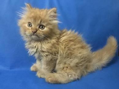 Kucing jantan cream manja