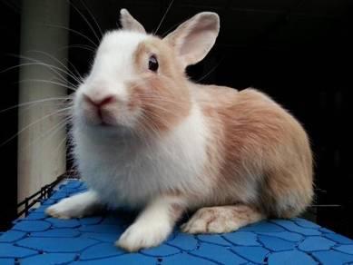 Arnab Mix Rabbit (Dewasa)