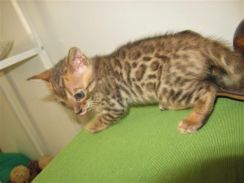 Bengal kittens - 1 month old - ROSETTED