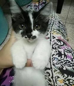 Anak kucing kitten black