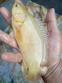 Benih ikan